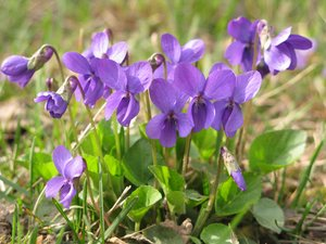 first violets: none
