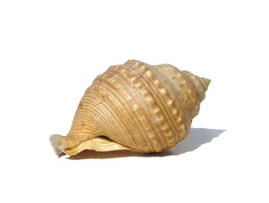sea shell: none