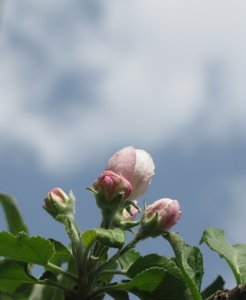 apple tree blossom: none