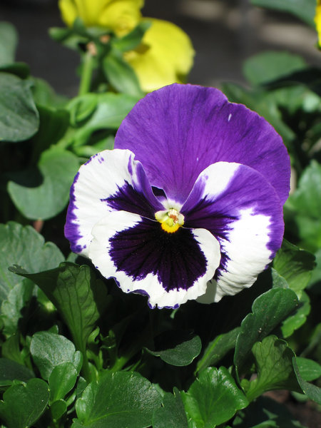 blue white pansy: none