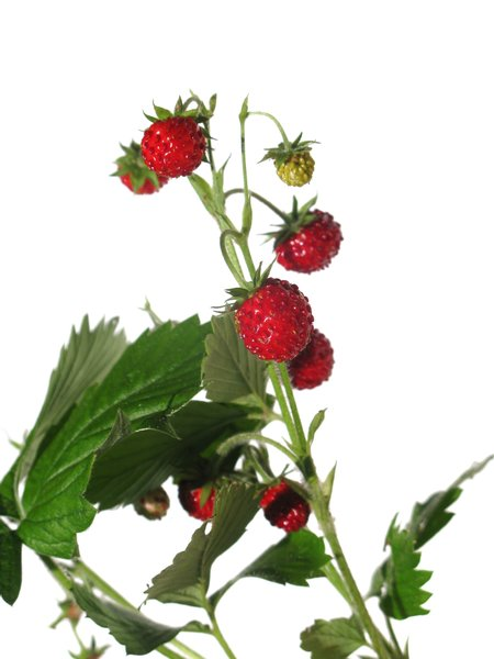wild strawberries: none