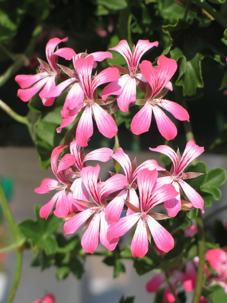hanging pelargonium: none