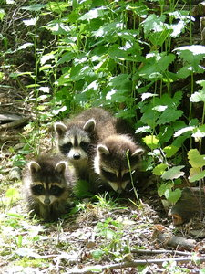 Baby Racoons 1: Baby racoons in my backyard