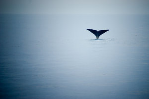 Whale tail: Sperm whales diving off the Norwegian coast in Andenes, And�ya