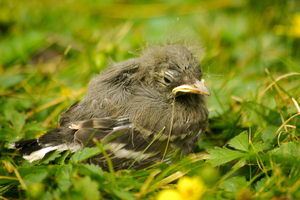 Bad-hair-day?: Confused nestling
