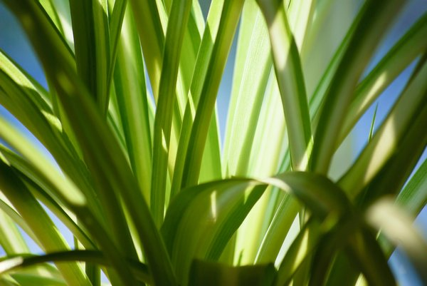 Green Spider plant: Foliage from a Spider plant (Chlorophytum comosum)