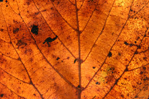 Autumn Texture: Close up details of a leaf :)