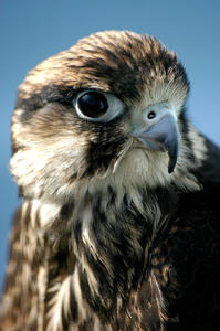 Hawk: A bird portrait. What more can I say :)