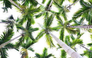 Coconut Trees 1: Beautiful coconut trees