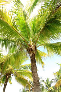 Coconut Trees 2: Beautiful coconut trees