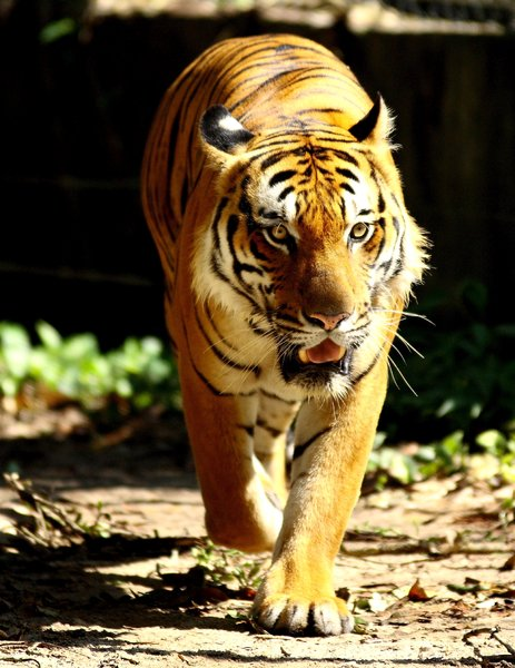 Big Cat Series 3: Snapshots of a Sumatran tiger at the local zoo
