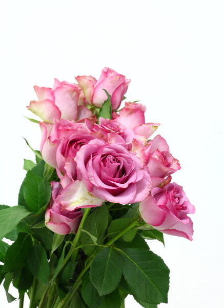 Pink Roses 1: Pink roses