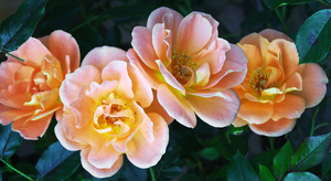 roses in a row: four apricot coloured roses
