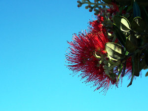 New Zealand Christmas Tree: Pohutukawa, Metrosideros excelsa, blooms around Christmas Time which is Summer time in New Zealand.  The foliage can be rather leathery, but the flowers are delightful.  A spreading native tree that is often seen by the coastline.