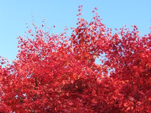 red leaves: bright red maple leaves against blue sky