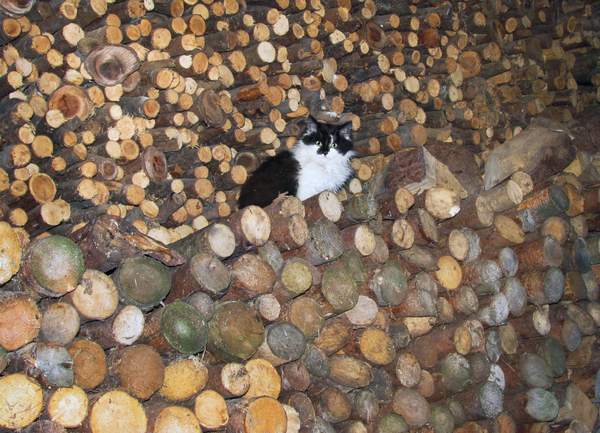 Cat in woodpile: Black-white long-hair cat sitting enthroned in pile of wood