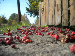 rowanberries: rowanberries on the fence's foundation