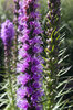 Liatris flowers: Purple Liatris flowers in a garden in England.