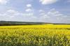 Yellow landscape: Fields of oilseed rape (Brassica napus) in flower in Hampshire, England, in spring.