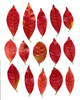 Red leaves: Old leaves of Trachelospermum.