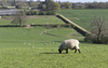 Sheep farm: A sheep farm in Sussex, England, in spring.