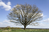 Tree in spring: A tree on the High Weald of West Sussex, England, in spring.