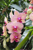 Orchids: An orchid cultivar in a greenhouse in England.