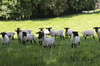 Black faced sheep: Black faced sheep in Buckinghamshire, England, in spring.