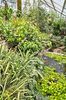 Tropical greenhouse: A greenhouse of tropical plants in England.