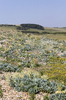Sea kale landscape: Sea kale (Crambe maritima) growing on the inland-facing side of a coastal shingle bank at Cuckmere Haven, East Sussex, England.