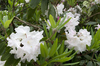 White rhododendrons: Rhododendrons in flower in a garden in England.