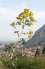 Fennel flowers: Wild fennel (Foeniculum) in flower at Mystras, southern Greece, in spring.