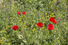 Wild spring flowers: Wild flowers - poppies and various vetches - in southern Greece in spring.