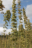Hops: Hops (Humulus lupulus) growing on pole and wire frames on a farm in Surrey, England.