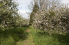 Orchard and cottage: A path to a cottage through an orchard of apple trees in Cornwall, England.