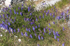 Wild blue flowers: A wild blue vetch on the coast of the Lofoten Islands, Norway.