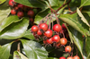 Autumn berries: Berries on a cultivar of an unidentified rosaceous small tree in a village garden in England.