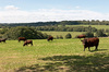 Sussex landscape: Landscape with cattle in the Weald, Sussex, England.