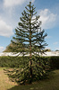 Monkey puzzle tree: A monkey puzzle (Araucaria) tree in parkland in a private estate in Somerleyton, Norfolk, England. Photography in these grounds was freely permitted.