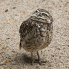 Burrowing owl: A burrowing owl (Athene cunicularia) in a zoo in England.