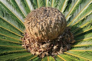 Cycad crown: Crown of a cycad tree growing in a botanic garden in Madeira.