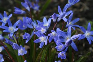 Chionodoxa flowers: Chionodoxa (Glory-of-the-snow) flowers in early spring.