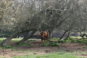 Shy cow: A shy cow under riverside trees in Devon, England, in spring.