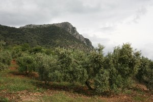 Spanish olive grove: An olive grove on a hillside in Andalucia, Spain.