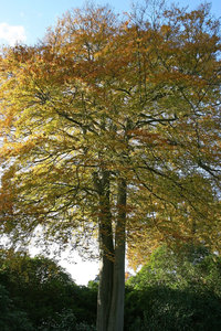 Double beech: A very large double-trunked beech (Fagus sylvatica) tree in a park in East Sussex, England, in autumn.