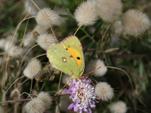 Butterfly and grassheads: A clouded yellow butterfly on a scabious flower amid grassheads in Sardinia.