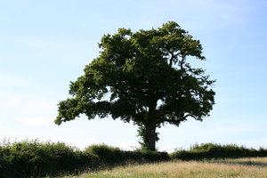 Summer oak: An old hedge and oak (Quercus) tree in West Sussex, England, in high summer.