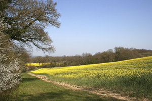 Spring fields: A crop of oilseed rape (Brassica napus) in flower in West Sussex, England, in spring.