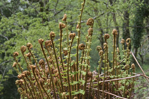 Young ferns: Young ferns unrolling in woodland in southwest England in spring.