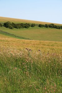 Landscape with flowers: Wayside flowers in a field on the South Downs, West Sussex, England, in early July.